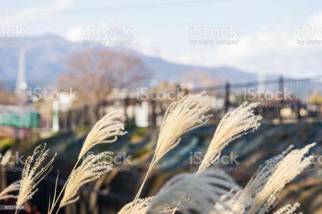 Japanese pampas grass of Kadoike Park stock photo
