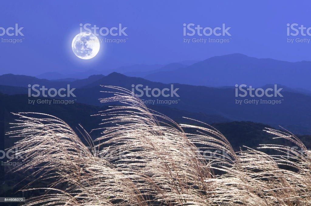 Japanese pampas grass stock photo