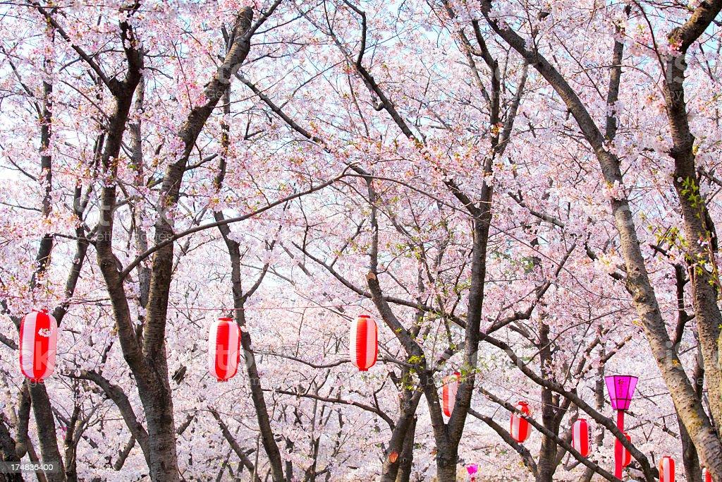 Japanese paper lantern and sakura blossom royalty-free stock photo