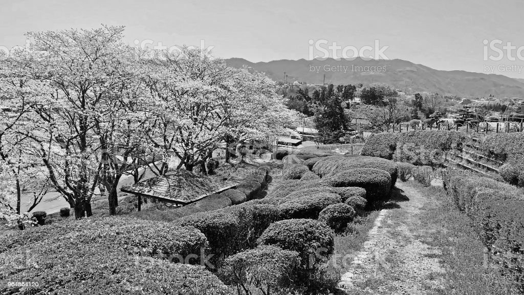 Japanese parc with cherry tree royalty-free stock photo