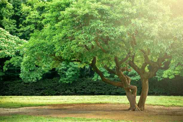 japanese park tree 5/5000 kōen no jumoku park trees - 介護 zdjęcia i obrazy z banku zdjęć