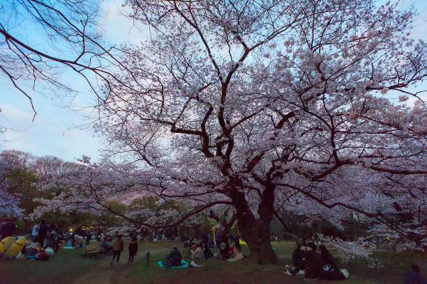 Japanese people and tourists enjoying the cherry blossoms stock photo