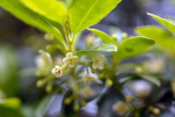 japanese pepper flowers - knotweed stock pictures, royalty-free photos & images