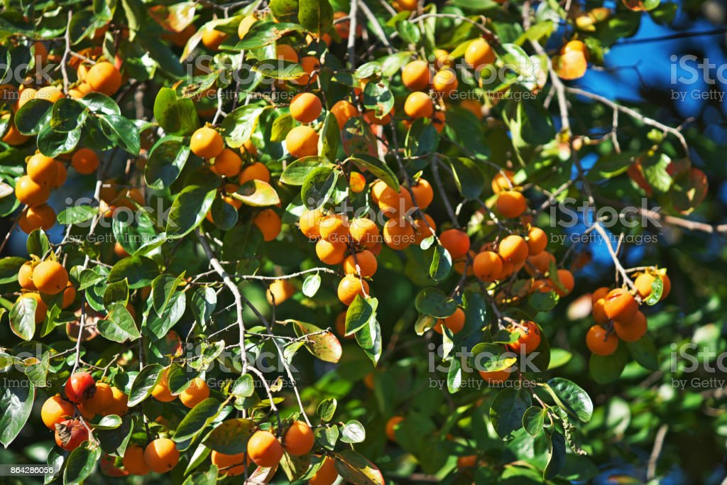 Japanese persimmon royalty-free stock photo