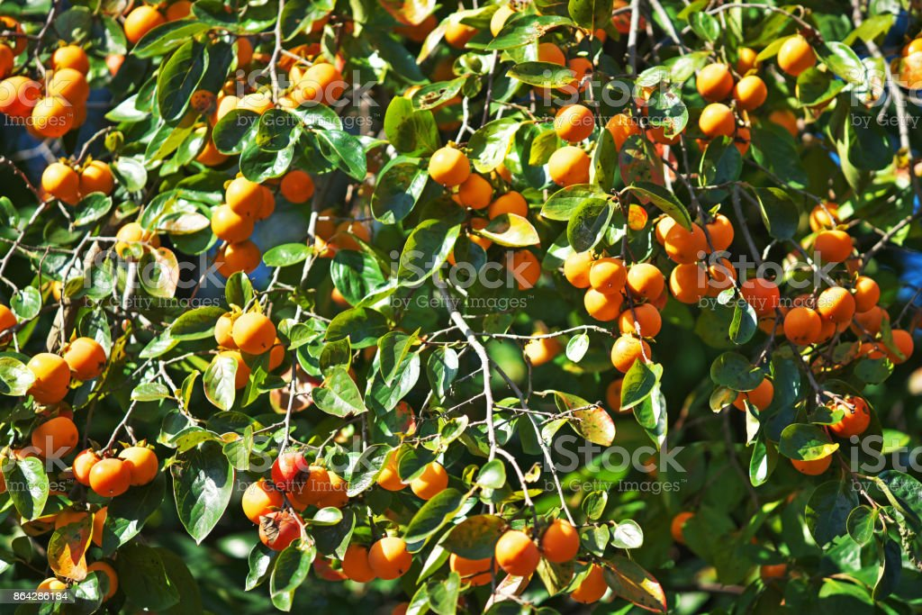 Japanese persimmon royalty-free stock photo