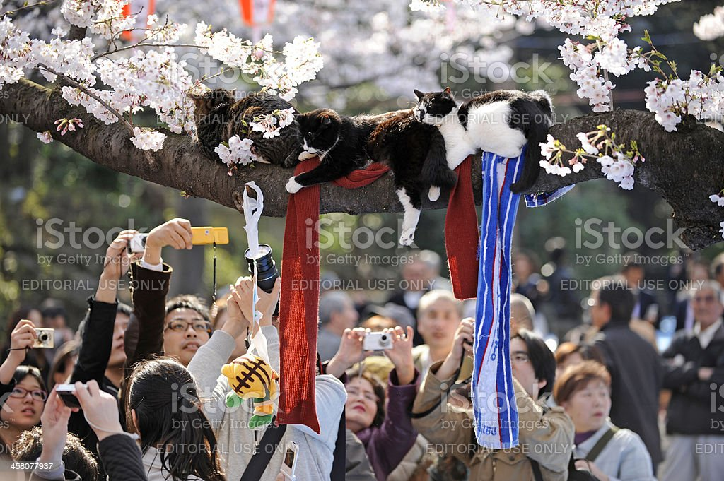 Japanese photographing cats in tree, at Tokyo park stock photo