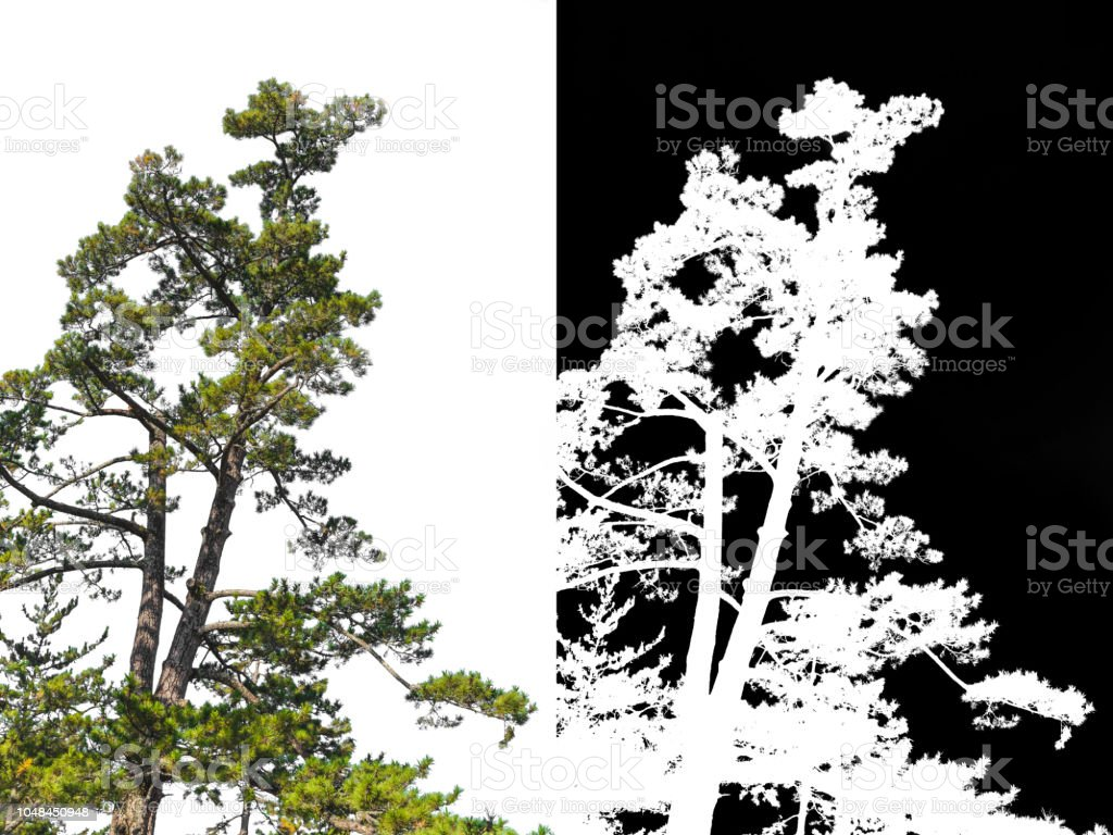Japanese pine tree on corner isolated with alpha channel for remove white background stock photo