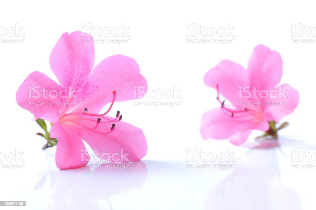 25e5c4d80 Foto de Flor Azaleia Rosa Japonesa Isolado e mais fotos de stock de ...