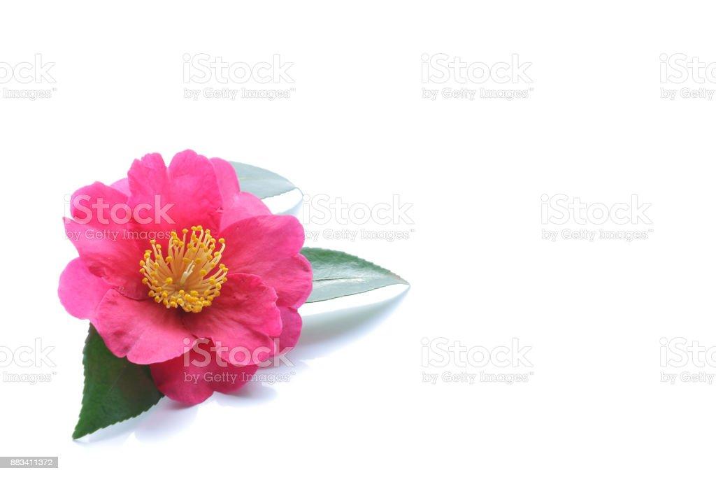 Japanese pink camellia flower isolated stock photo