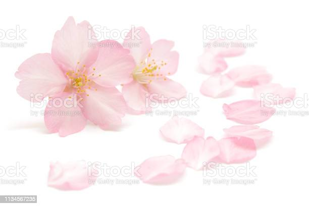 Japanese pink cherry blossom and petals isolated on white background picture id1134567235?b=1&k=6&m=1134567235&s=612x612&h=ansu5corf1n6r3lzrxz3ytckpw1dboa om3g v19lxs=