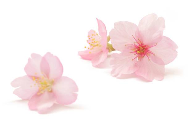 Japanese pink cherry blossom isolated on white background picture id1133703159?b=1&k=6&m=1133703159&s=612x612&w=0&h=nl5d13cxj2qaef6ocuh i6hbrpqm5zkzgpgovme  eg=