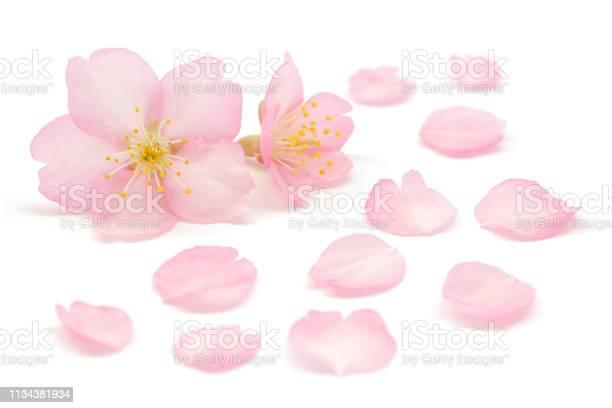 Japanese pink cherry blossom isolated on white background picture id1134381934?b=1&k=6&m=1134381934&s=612x612&h=dlywtvxasvt6deu8hdjt9tnupm9v3iwylzk54knyis0=