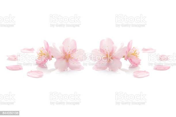 Japanese pink cherry blossom on white picture id844050138?b=1&k=6&m=844050138&s=612x612&h=qwtqrgkrb69ml qkjerrauxaw  yrl6bandu rnciyq=