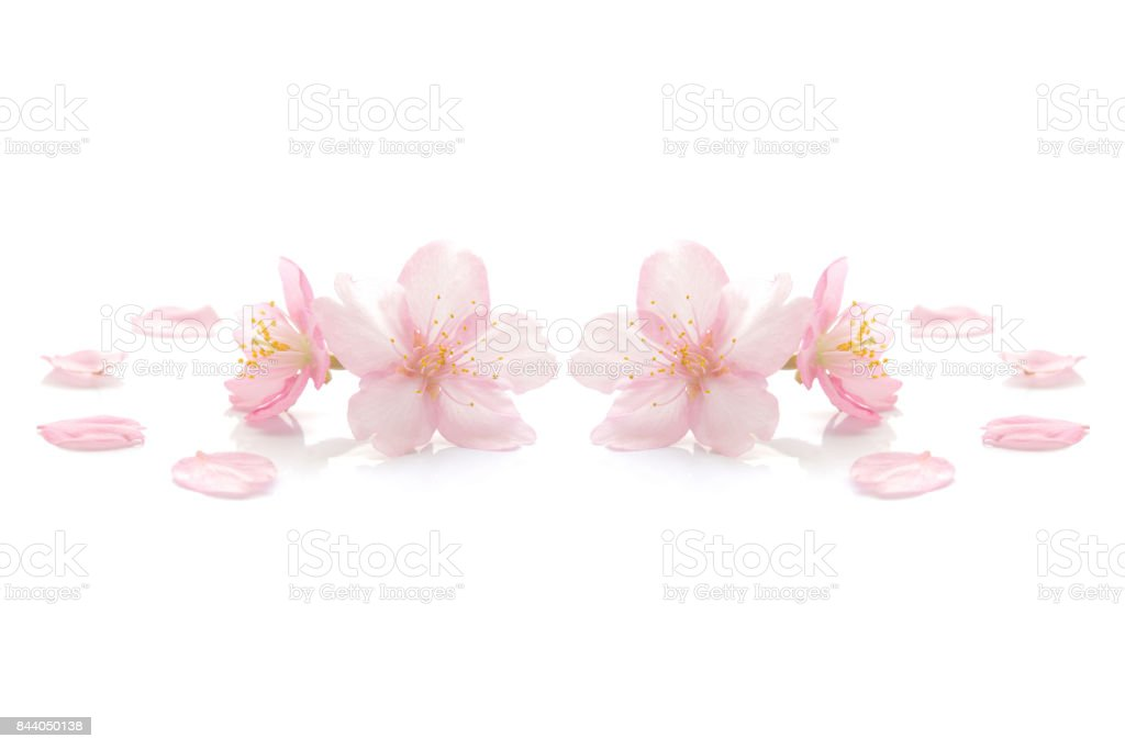 Japanese pink cherry blossom on white stock photo