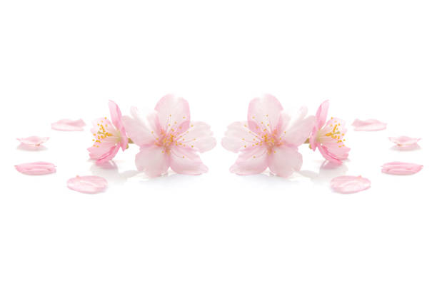 Japanese pink cherry blossom on white stock photo