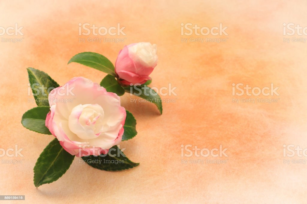 Japanese pink white camellia flower on traditional paper stock photo