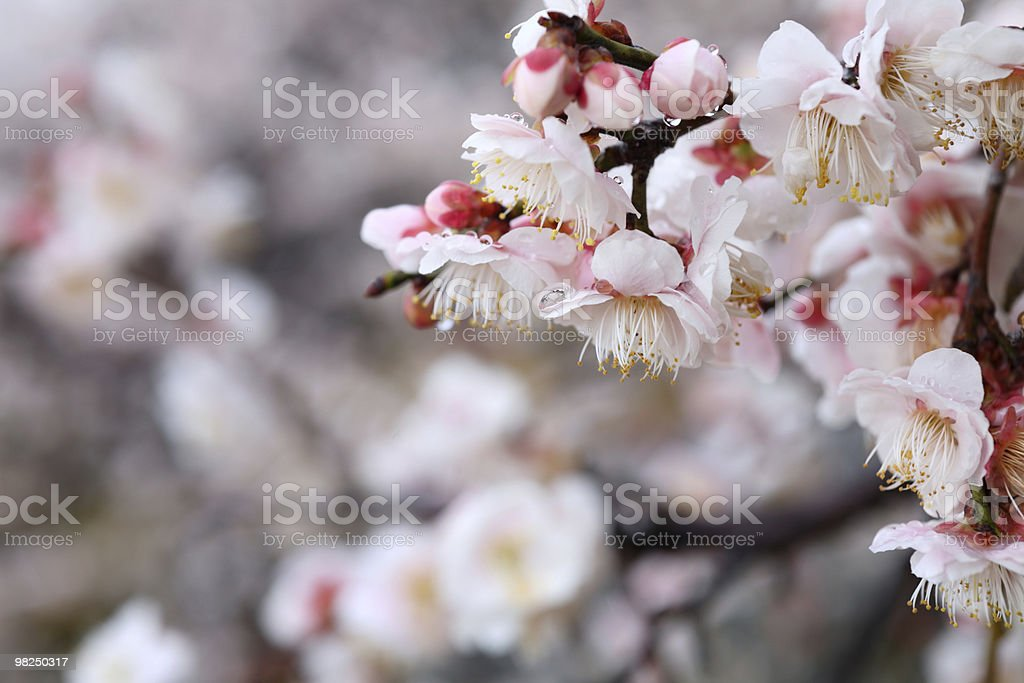 Japanese plum blossom royalty-free stock photo