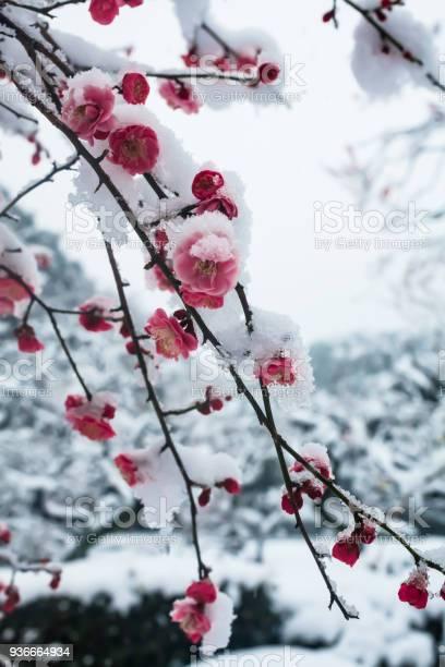 Japanese plum blossoms in the snow picture id936664934?b=1&k=6&m=936664934&s=612x612&h=srqjcxf aim2xlpeob ezkjlddu7sosc4xfqewr5g74=
