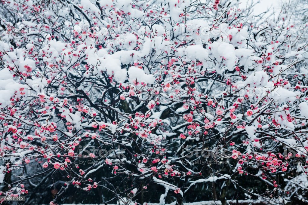 Japanese plum blossoms in the snow stock photo