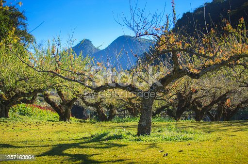 istock Japanese plum trees at Royal Agricultural Station Angkhang ,tourist attraction at Chiangmai province in Thailand 1257163864