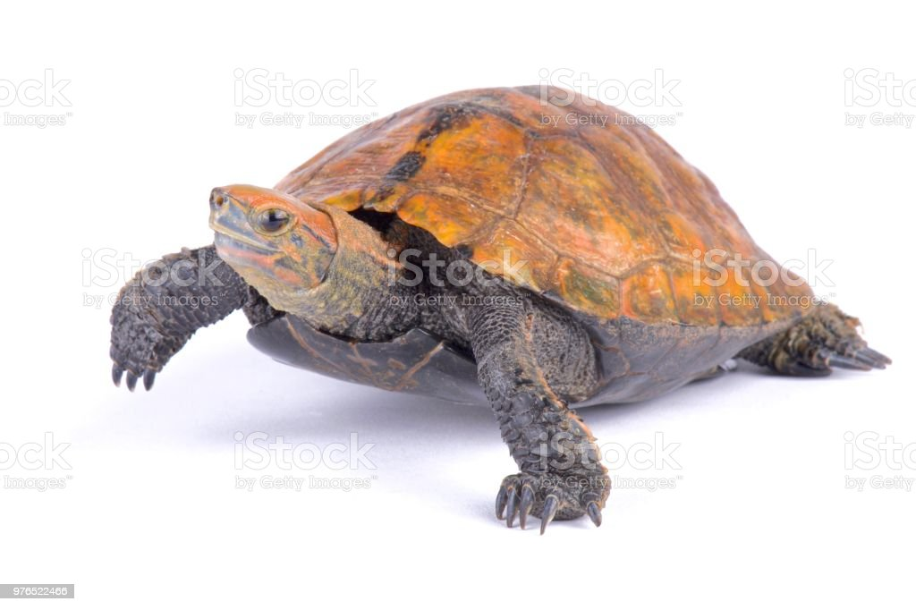Japanese Pond Turtle Mauremys Japonica Stock Photo Download Image Now Istock