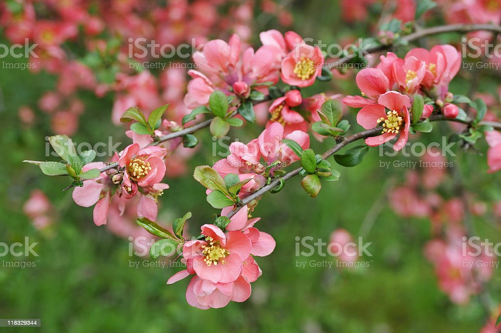 japanese quince branch - blossoming royalty-free stock photo