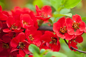 Spring Blossomed tree - Chaenomeles japonica. Japanese Quince branch.