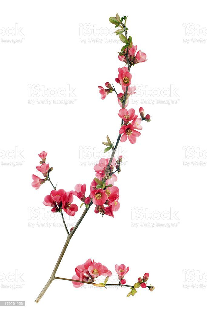 Japanese quince flower with branches stock photo