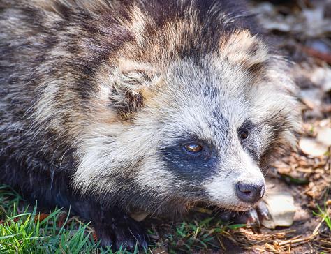 Japanese Raccoon Dog tanuki