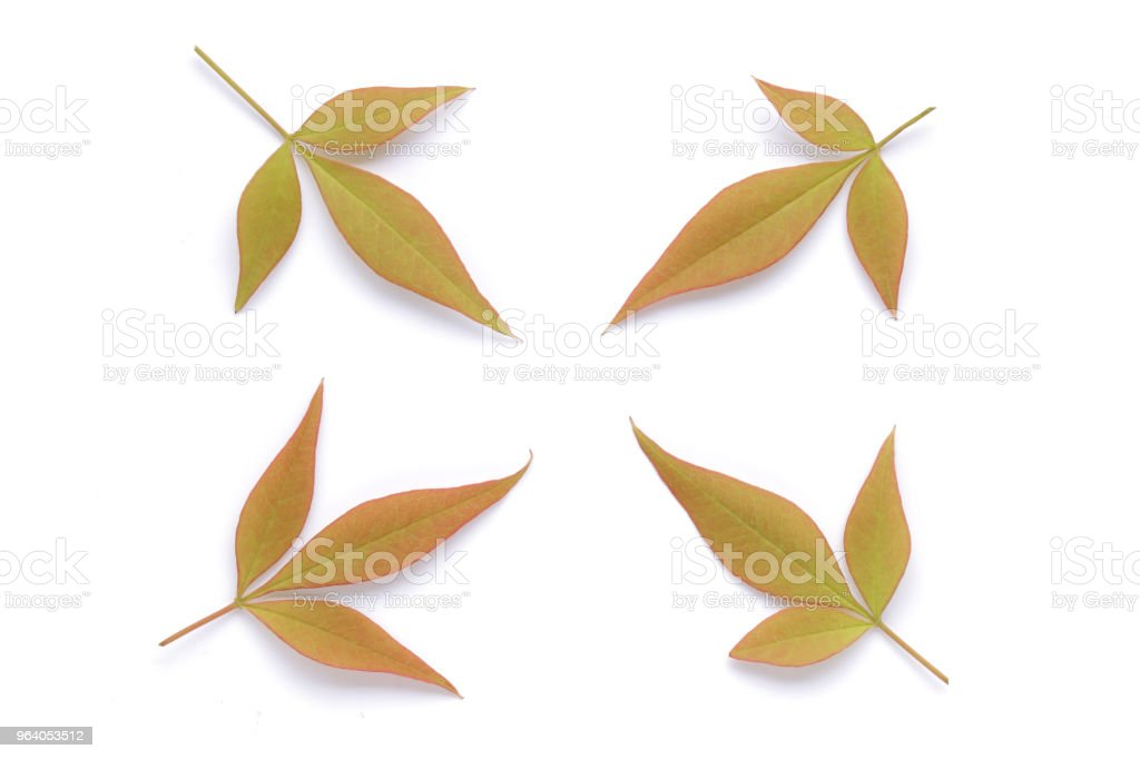 Japanese red autumn leaves isolated on white background - Royalty-free Autumn Stock Photo