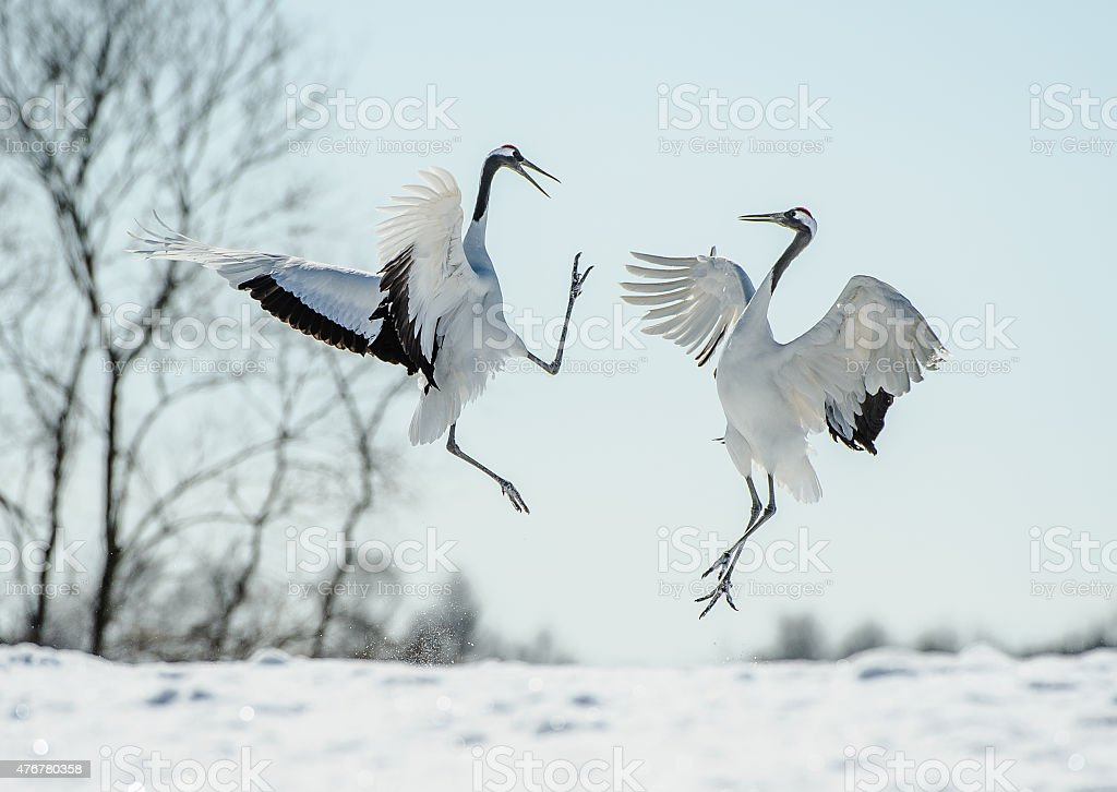 Japanese red crown crane courtship dance stock photo