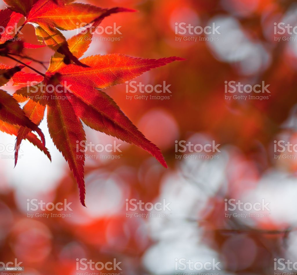 Japanese Red Maple Leaf royalty-free stock photo