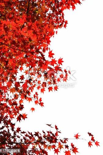 Red Japanese maple leaves against white sky. Taken in Japan.similar images in portfolio;