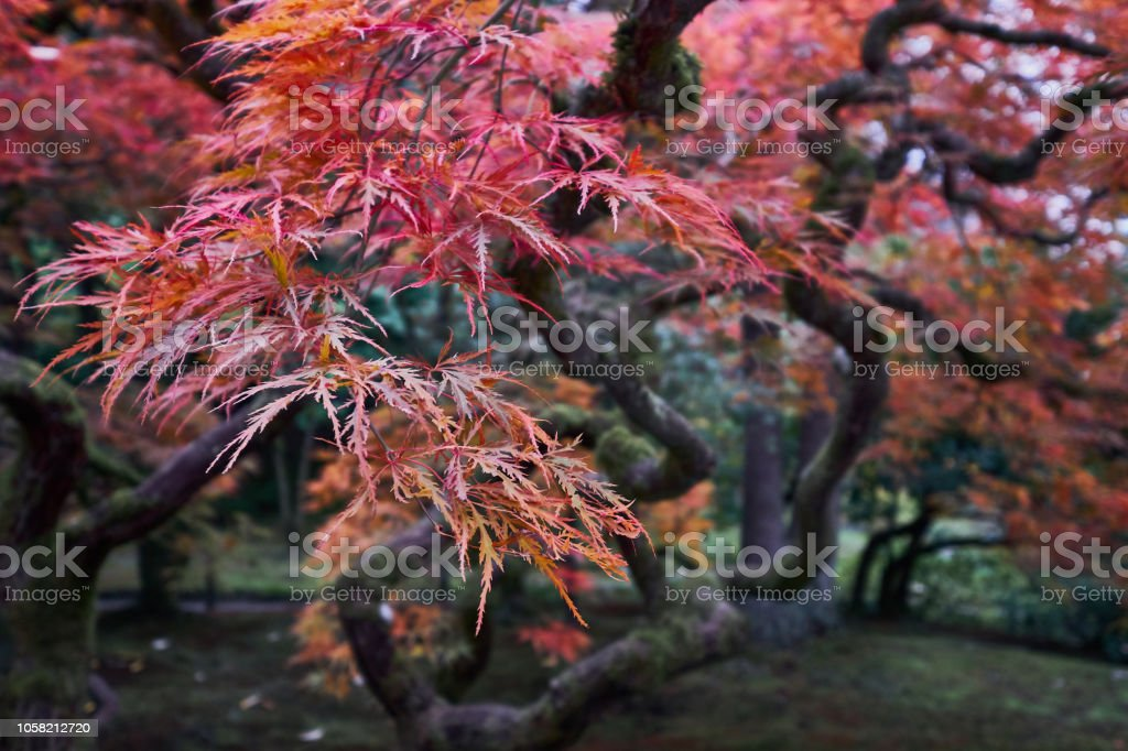 Japanese red maple tree during fall in a Japanese garden on a...