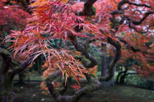 Japanese red maple tree during fall in a Japanese garden. stock photo