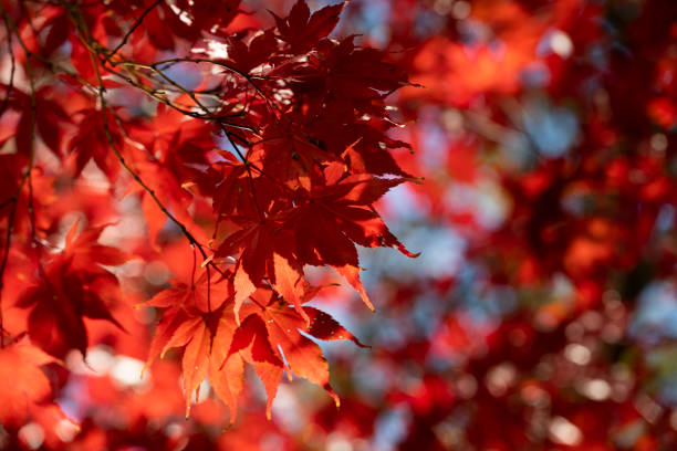 Japanese Red Maple Tree stock photo