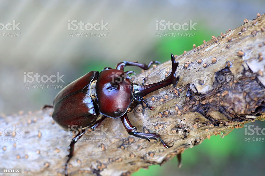 Japanese rhinoceros beetle stock photo
