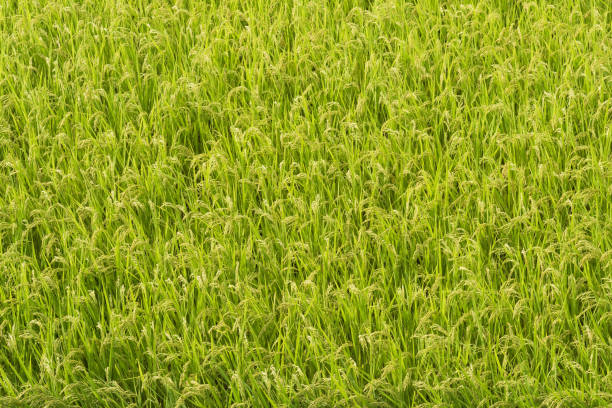 Japanese Rice paddy field close view from the top stock photo