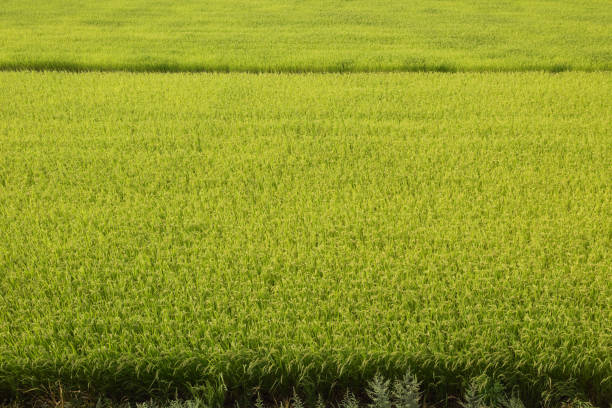 Japanese rice paddy field in autumn stock photo
