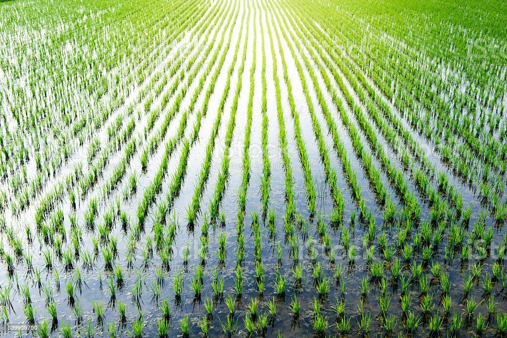 Japanese rice paddy stock photo