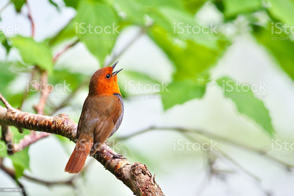 Japanese robin in japan stock photo