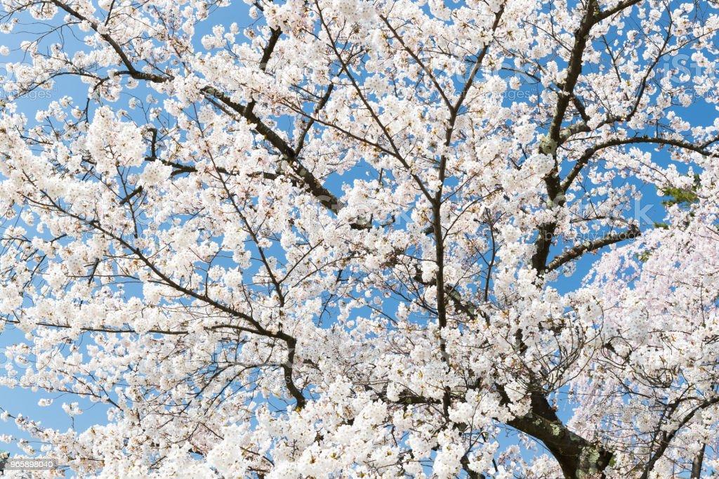 Japanese Sakura cherry blossom in spring season - Royalty-free Beauty Stock Photo