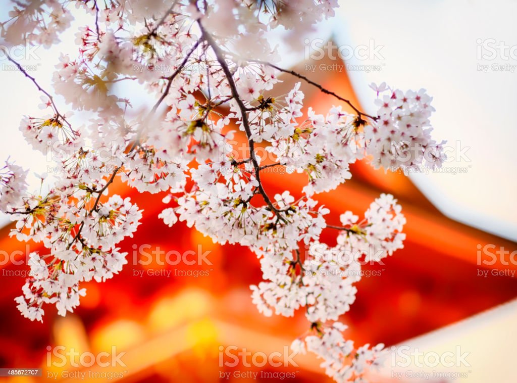 Japanese Sakura stock photo