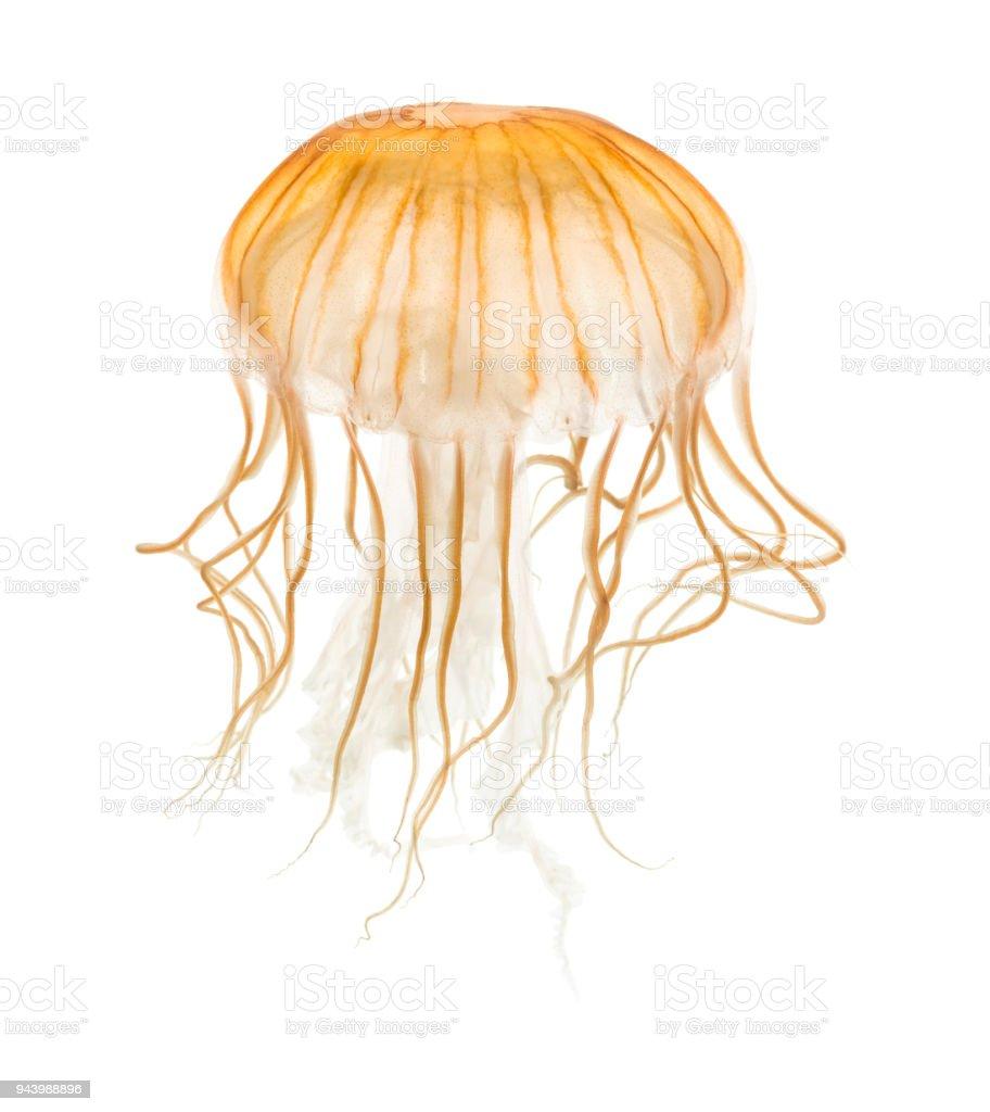 Japanese sea nettle, Chrysaora pacifica, Jellyfish against white background stock photo