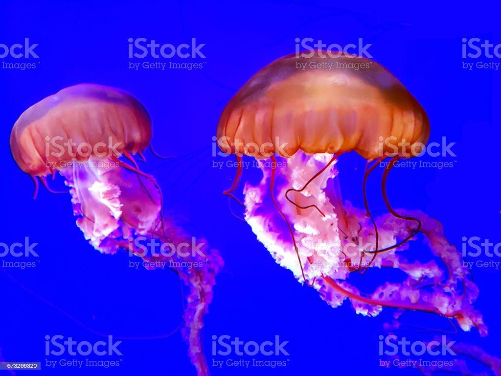 Japanese Sea Nettle jellyfish on a dark blue background stock photo