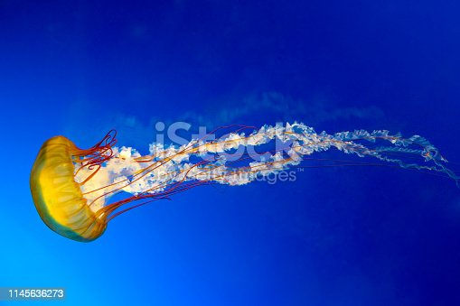 The Japanese Sea Nettle, or Chrysaora pacifica Jellyfish.
