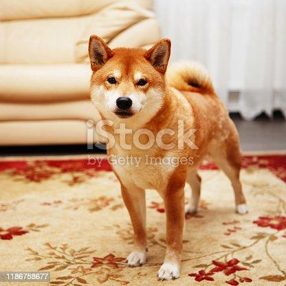 Japanese Shiba Inu dog in the big house