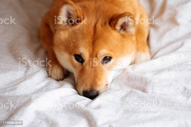 Japanese shiba inu dog on the bed at home picture id1145684645?b=1&k=6&m=1145684645&s=612x612&h=gtexipqqyfdiz31xpbh e7kbn rbsr7l5obnidmqswi=