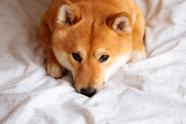 Japanese shiba inu dog on the bed at home picture id1145684645?b=1&k=6&m=1145684645&s=612x612&w=0&h=wacppi43v5kenjcxeut otcn33hf6bzyzvcmsvhhwzo=