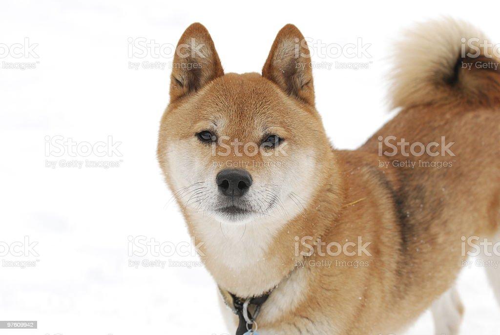 Japanese Shiba Inu Dog royaltyfri bildbanksbilder